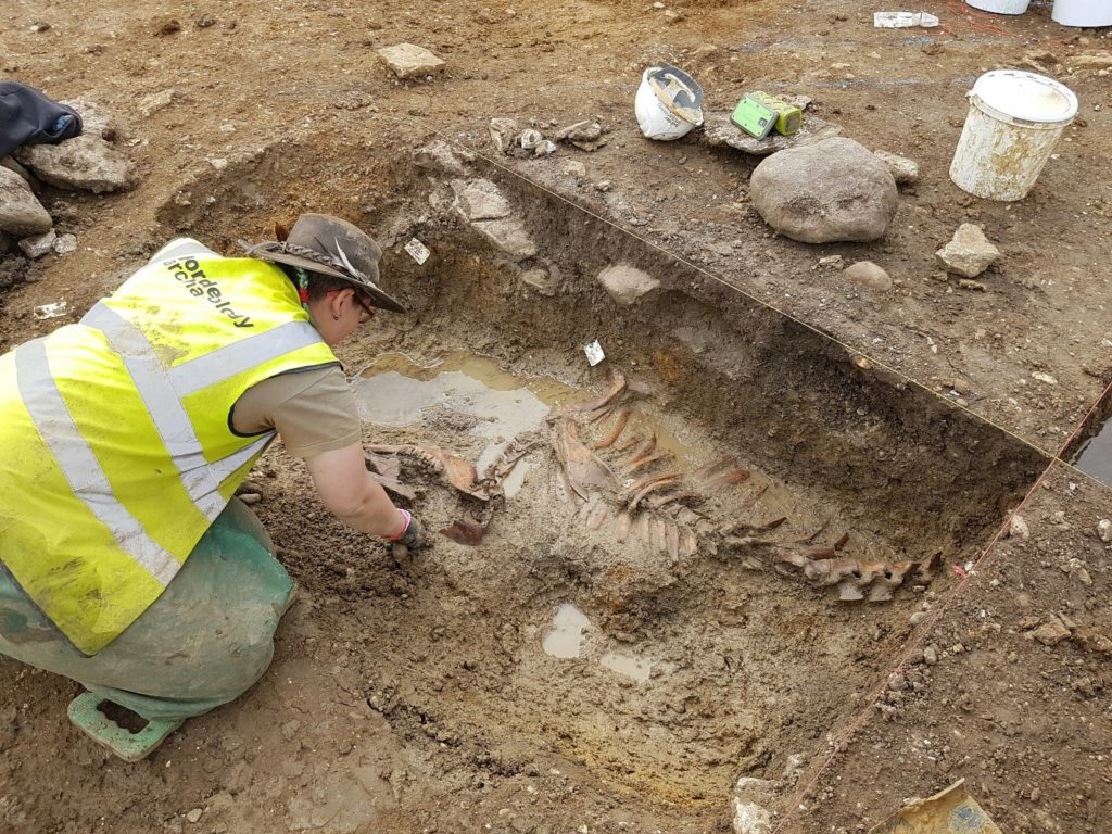 Border Archaeology staff reveal a largely intact cow skeleton deposited within a Romano-British refuse pit
