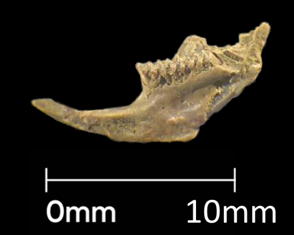 12mm vole jawbone from Roman soil sample
