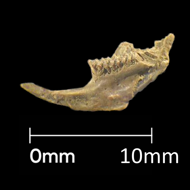 12mm vole jawbone from Roman soil sample