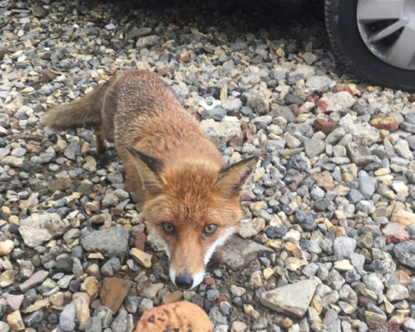 Hungry fox on archaeological site