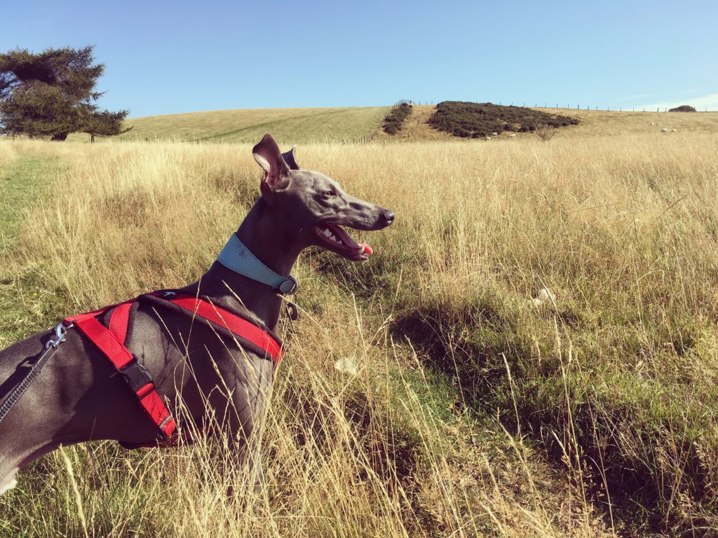 Owain's dog on Offa's Dyke