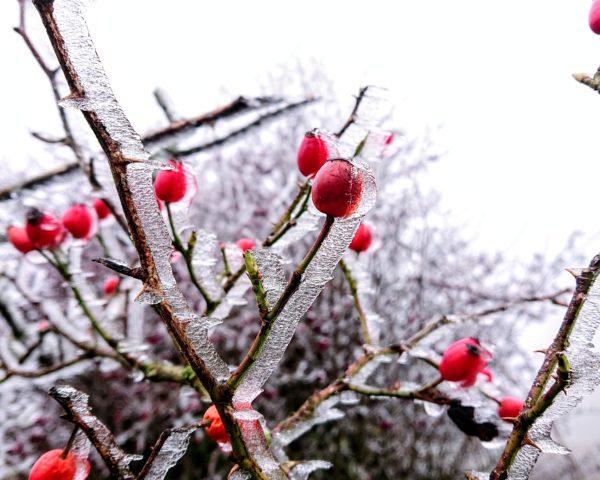 Frosty rosehips