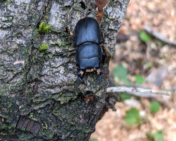 Male Lesser Stag beetle